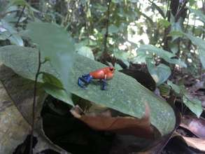 Blue Jeans Dart frog at Rio Sol, Maleku Reserve