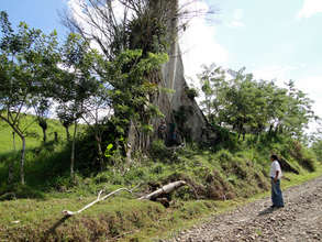 Ceiba or Kapok tree
