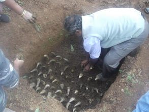 Burying Cow Horns in pit