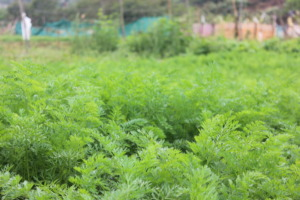 Organic carrot cultivation