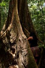 a giant ironwood tree, Dipteryx