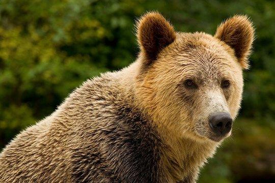 Grizzly Bear. Photo by Jamie Scarrow.