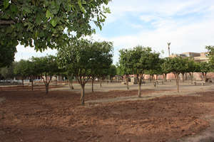 Pruned Seville sour orange trees