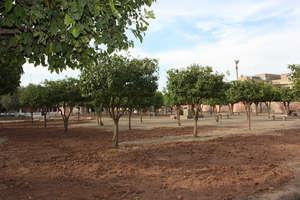 Pruned Seville sour orange trees