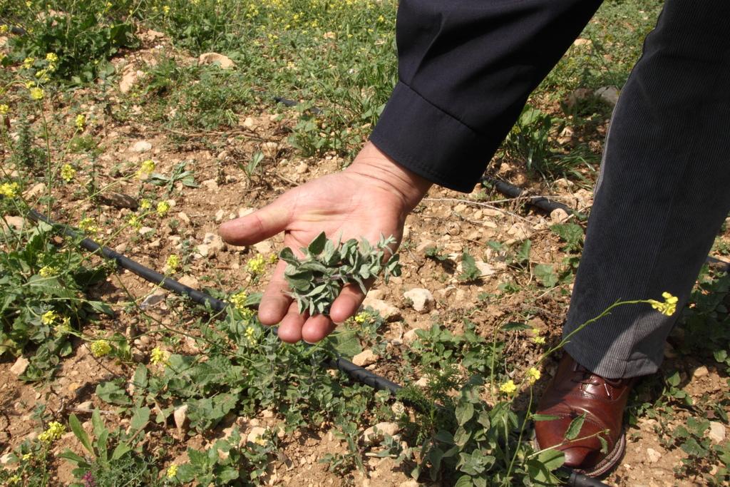 First thyme crop