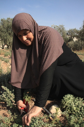 Palestinian woman harvesting time