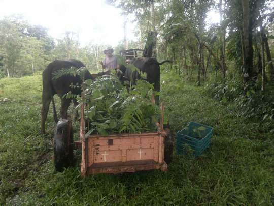 Hauling trees w/oxen from Felipa's nursery