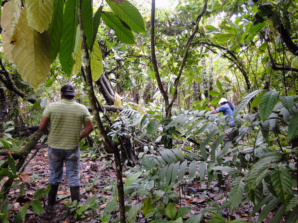 Preparing the planting area at Isidro Acosta