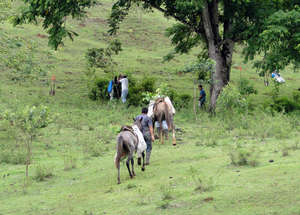 Horses carrying trees to planting destination