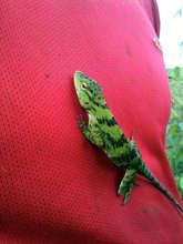 Iguana in waiting