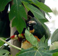 Aracari eating a papaya
