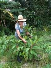 Yos tree, medium fast grower