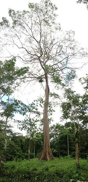Guayacon tree at Marvin