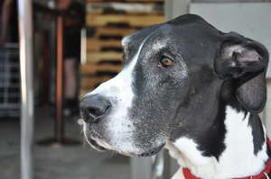 Pongo client Daisy the Great Dane