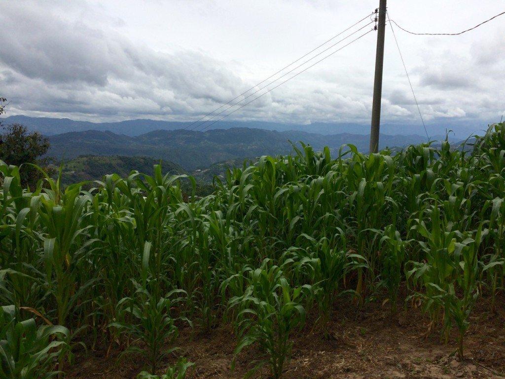 Guatemalan cornfield