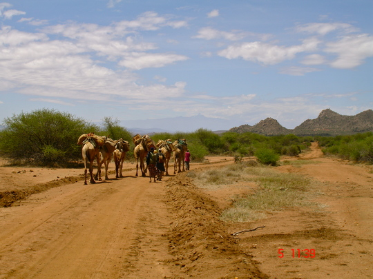 Camels Heading Out