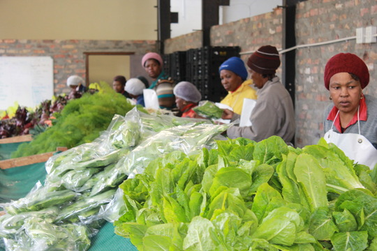 Packaging the Vegetables for Delivery