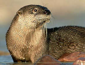 Oregon River Otter