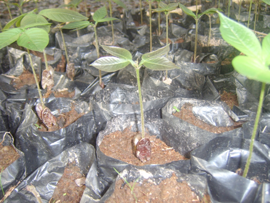 Guama seeds in stage of growth