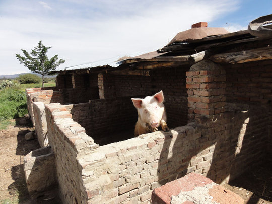 One of the pigs of Pastora Perez