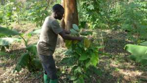 Growing cacao under native forest cover