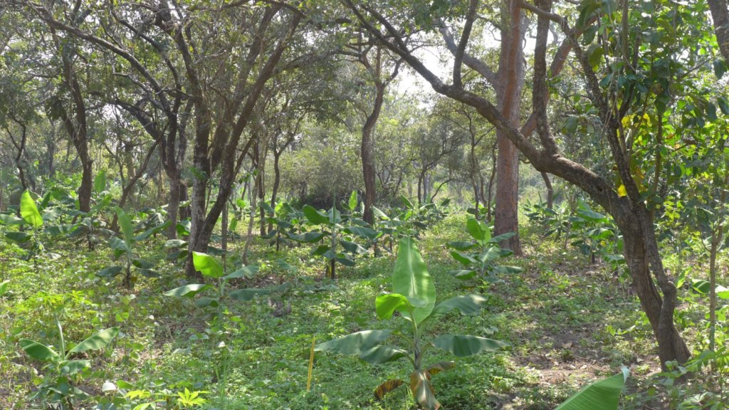 An Acholiland forest with banana understory