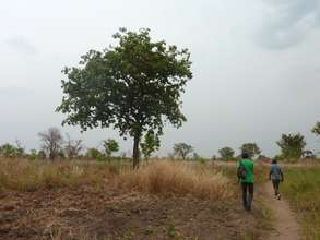 A shea tree, threatened by charcoal production