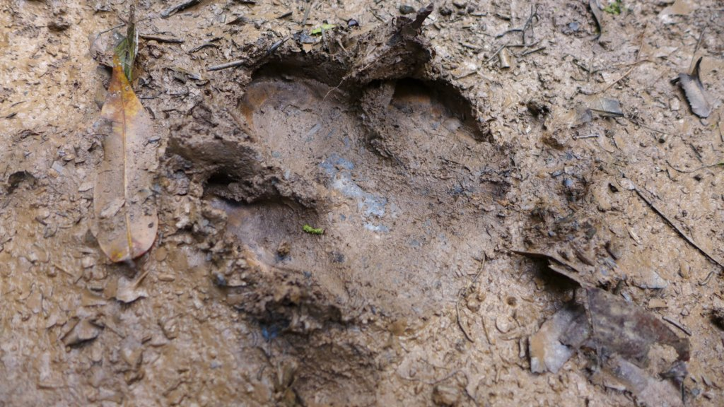 Carbon footprint? Tapir footprint