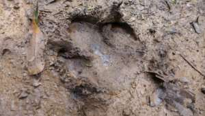 Carbon footprint? Tapir footprint