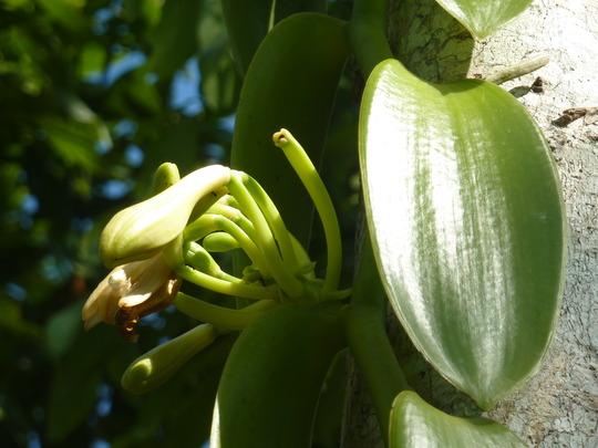 Vanilla in flower