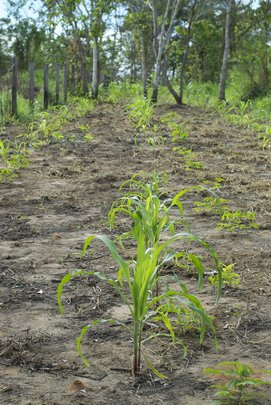 Crops grown with biochar in soils