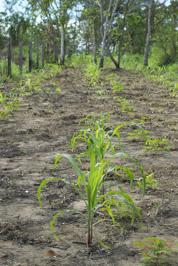 Crops grown with biochar in soils