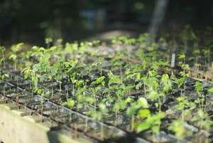 Tree seedlings with biochar soil substrate