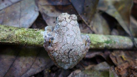 Tambopata frog