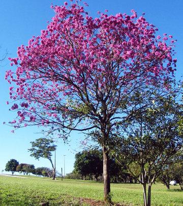 Pau d' Arco (Corteza Negra) a miraculous medicine