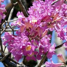Flowers of the Pau d'Arco tree