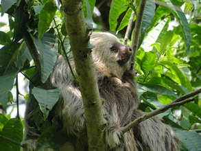 Two-toed Sloth in vital rainforest tree