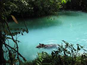 Tapir swimming at Rio Celeste, near the Quesadas