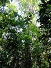 Giant tree in tropical forest
