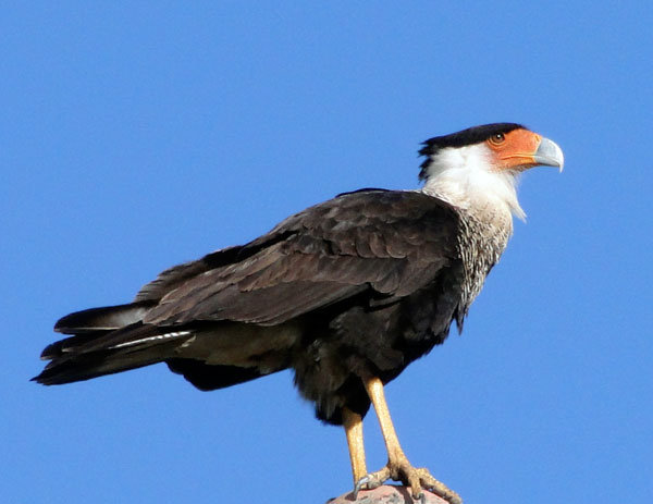 Crested Caracara Falcon a common siting in area