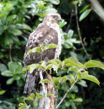 Hawk of the Quesada forest