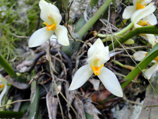 Tropical forest orchid