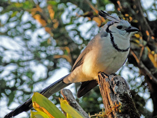 Bue Magpie Jay