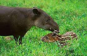 Baird's Tapir and baby