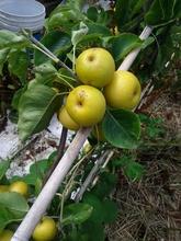 Apples growing in our garden