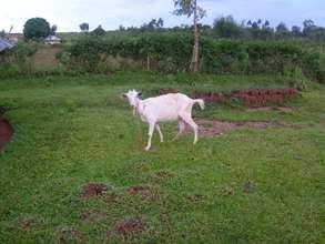 Nafisa's community goat