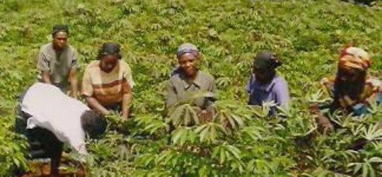 Michael's cassava project_women working