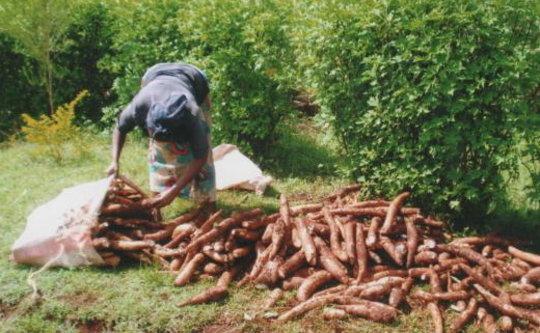 Mrs. Njuguna bagging cassavas for market