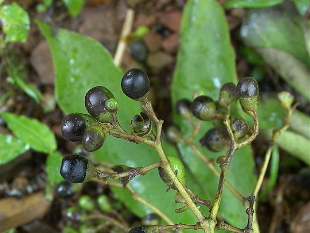 Berries of the Mpapa Tree