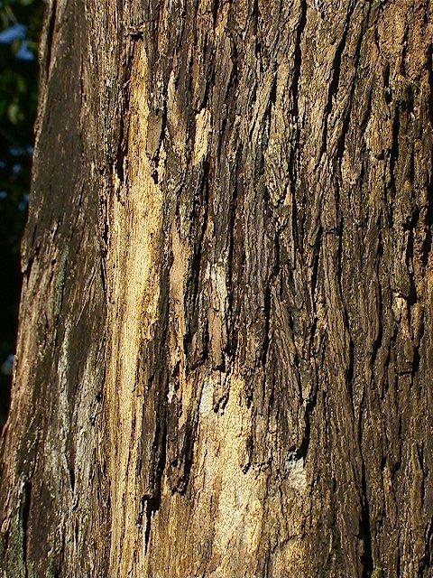 The Mpapa Tree